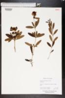 Image of Hypericum moserianum