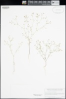 Hesperolinon adenophyllum image