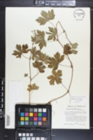 Geranium thunbergii image
