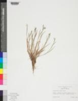 Image of Sisyrinchium exile