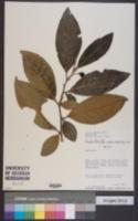 Image of Solanum lindenii