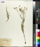 Image of Crepis exilis