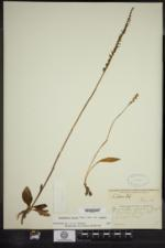 Spiranthes lacera image