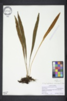 Elaphoglossum wawrae image