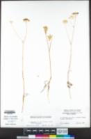 Perideridia bolanderi subsp. bolanderi image