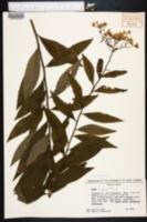 Aster tenuifolius image