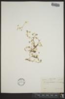 Ranunculus trichophyllus var. eradicatus image