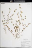 Image of Trifolium glomeratum
