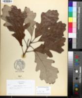 Quercus × bebbiana image