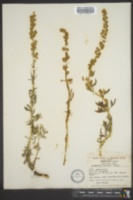 Image of Artemisia discolor
