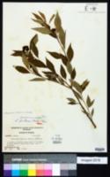 Ditrysinia fruticosa image