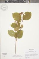 Image of Viburnum indianense