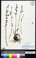 Eulophia graminea image