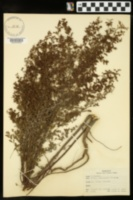 Lechea divaricata image