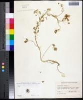 Image of Pimpinella anisum