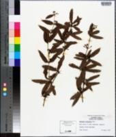 Image of Berberis sieboldii