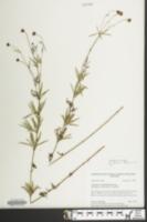 Image of Coreopsis delphiniifolia