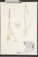 Linum virginianum image