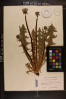 Image of Taraxacum croceiflorum