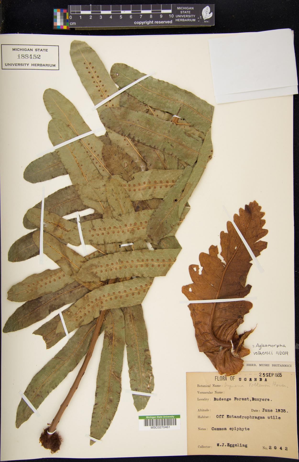 Aglaomorpha volkensii image
