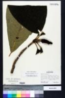 Magnolia tripetala image