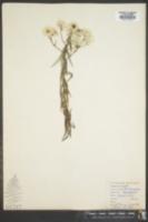 Helichrysum argyranthum image