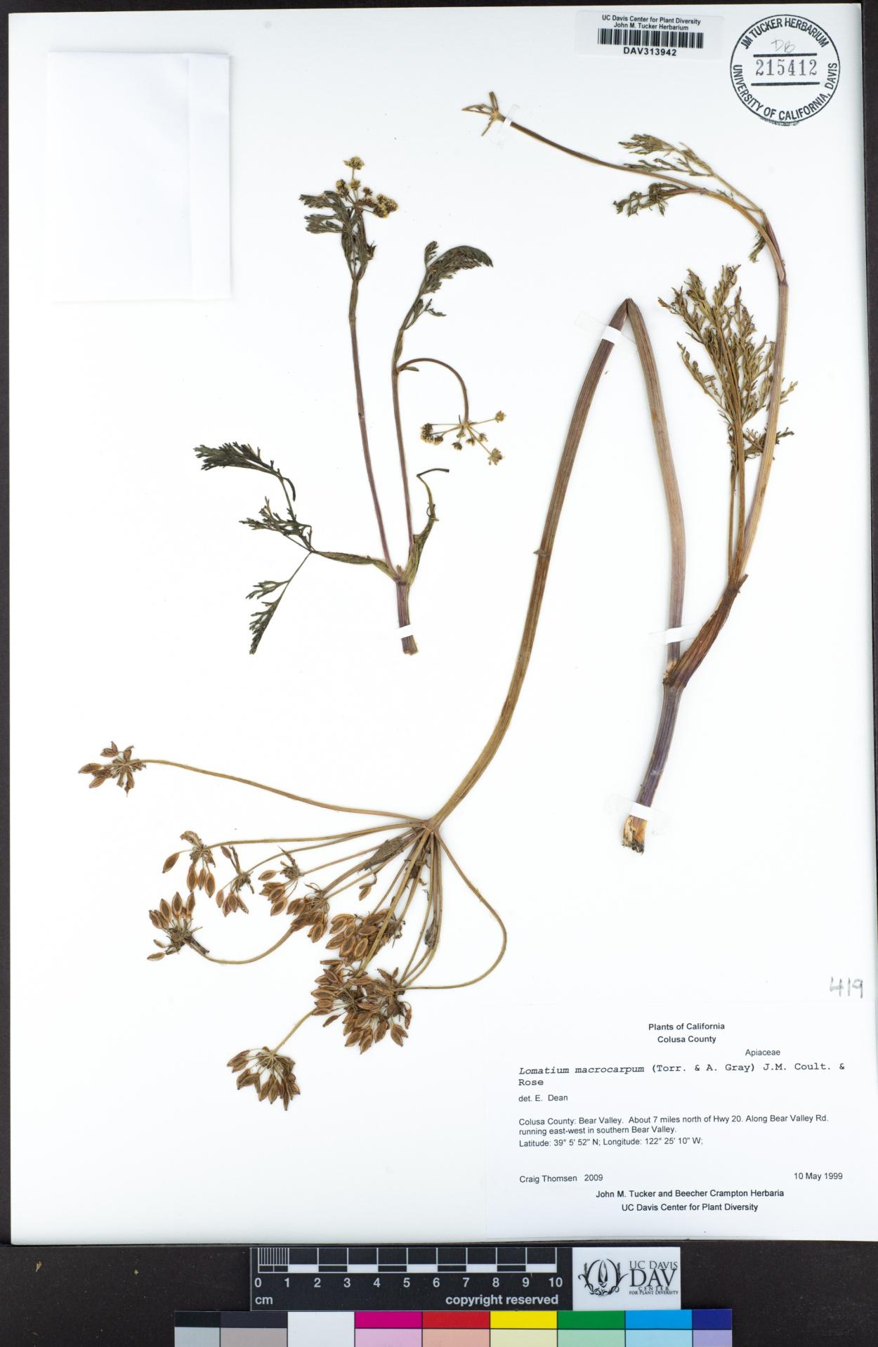 Lomatium image