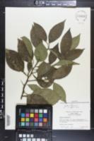 Citrus aurantium image