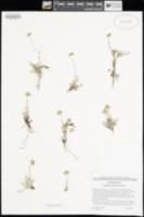 Image of Antennaria pulchella