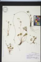 Potentilla canadensis var. canadensis image