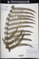Amauropelta thomsonii image