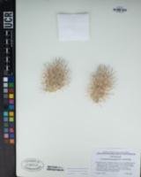 Coryphantha alversonii image
