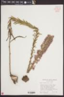 Liatris elegans image