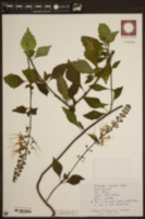 Image of Clerodendranthus spicatus