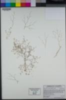 Euphorbia revoluta image