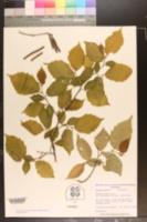 Corylus maxima image