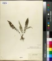Image of Asplenium lunulatum