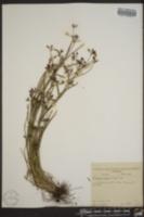 Psilocarya nitens image