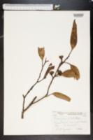 Image of Eucalyptus pileata