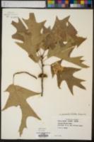 Quercus pagodifolia image