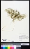 Eleocharis confervoides image