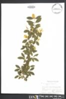 Image of Ligustrum amurense