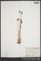 Melandrium macrospermum image