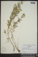 Oenothera latifolia image