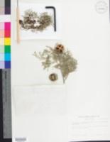 Cupressus lusitanica image