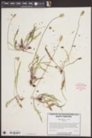 Krigia virginica image