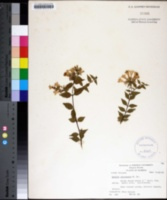 Image of Abelia chinensis