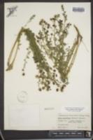Dalea multiflora image