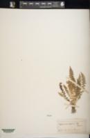 Asplenium fontanum image