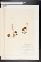 Image of Ranunculus alpestris